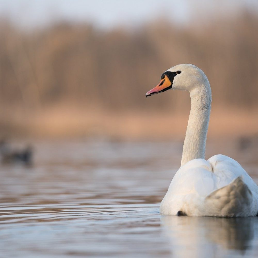 swan-5936863_1280